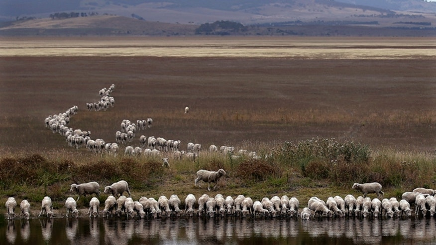 March 3, 2015: A flock of sheep drink from a dam at the edge of dried-up Lake George, about 250 kilometers (155 miles) southwest of Sydney.
