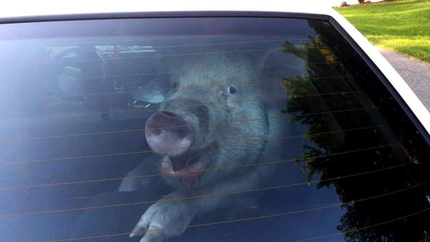 This May 28, 2015 photo provided by the Shelby Township Police Department shows a stray pig in then back of police vehicle in suburban Detroit. A homeowner said she was doing yard work when the pig came barreling toward her, chasing her into the front yard before apparently getting distracted by a decorative ball. Police showed up and got the pig off the streets, though it left a mess inside the police vehicle before it was reunited with its owner. (Shelby Township Police Deptartment via AP)