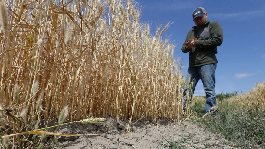 May 18, 2015: Gino Celli inspects wheat nearing harvest on his farm near Stockton, Calif.
