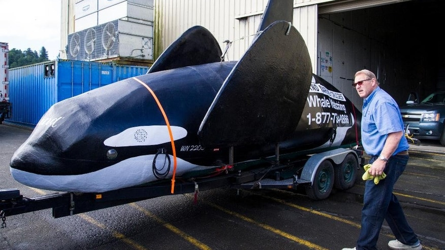 A fake life-sized orca sits on the docks of Pier Two in Astoria, Ore., Thursday, June 4, 2015. Officials hope it will scare hundreds of sea lions off the docks on the Oregon coast, but has run into a snag its first day on the job. (Joshua Bessex/Daily Astorian via AP) MANDATORY CREDIT