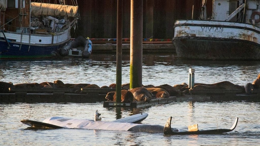 California sea lions and harbor seals sleep on the docks of the East End Mooring Basin as the fake life-sized fiberglass orca floats upside down, foreground, Thursday, June 4, 2015, in Astoria, Ore. An effort to use a fake orca to scare off hundreds of sea lions crowding docks off the Oregon coast has ended, at least temporarily, with the fiberglass creature belly-up after it was swamped by a passing ship. (AP Photo/The Daily Astorian, Joshua Bessex)  MANDATORY CREDIT