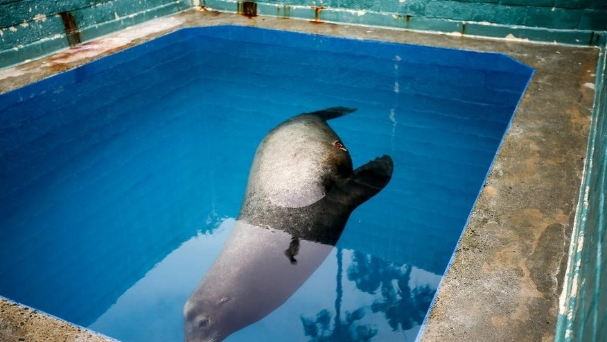 FILE - In this Wednesday, May 27, 2015, file photo, a giant sea lion, nicknamed Bubba, swims in a recovery pool at SeaWorld San Diego's animal rescue center in San Diego. Bubba, who was found impaled by a homemade spear in May, died Wednesday, June 3, after going into cardiac arrest during an exam. (AP Photo/Gregory Bull, File)