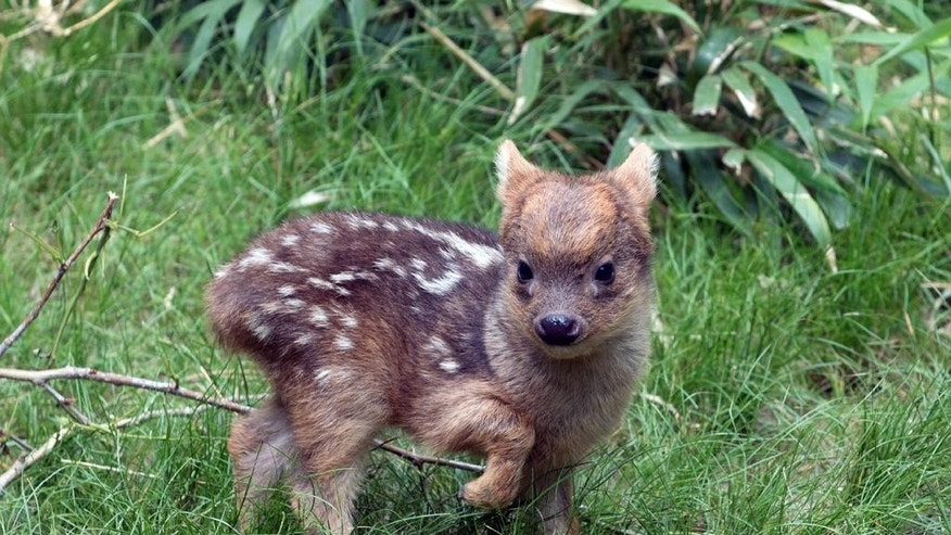 May 27, 2015: In this photo provided by the Wildlife Conservation Society, a southern pudu fawn walks in its enclosure at the Queens Zoo in New York.