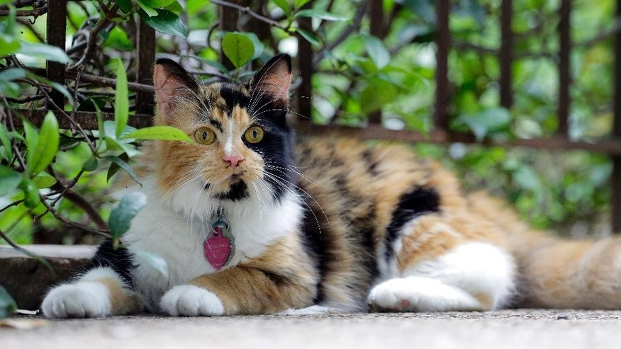 "Bella, the Alamo's official cat, wears a tag that says ""I Belong At The Alamo"" as she roams the grounds of the Alamo, Thursday, June 18, 2015, in San Antonio. The Texas General Land Office on Thursday announced the calico kitty has the formal title Miss Isabella Francisca Veramendi de Valero.  (AP Photo/Eric Gay)"