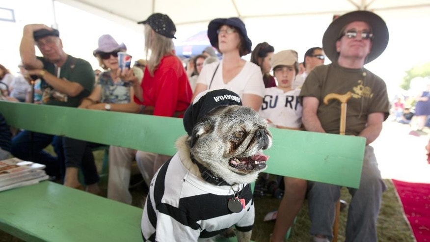 FILE. In this June 21, 2013 file photo, Grovie, a 10-year-old pug, waits to compete in the 25th annual World's Ugliest Dog Contest at the Sonoma-Marin Fair in Petaluma, Calif. (AP Photo/Noah Berger)