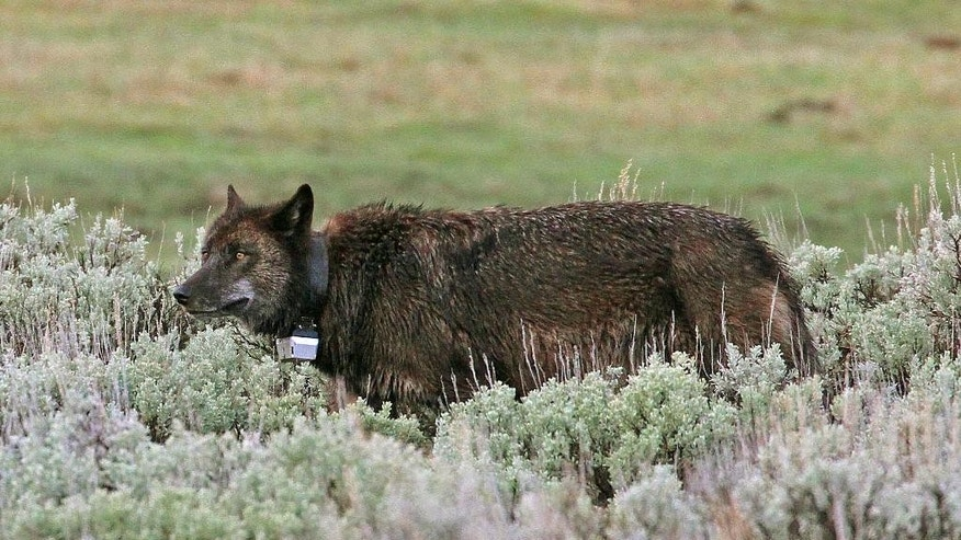This May 17, 2014 photo from Wolves of the Rockies shows a black female wolf known as 889F wearing a satellite tracking colla,r in the Lamar Valley of Yellowstone National Park, Wyo.    This black female wolf has a white and black satellite collar on her neck. Government researchers have lost their license to a set of radio frequencies used to track more than 100 radio-collared wolves and elk at Yellowstone. Yellowstone biologist Doug Smith said Thursday, July 2, 2015 that new licensee NorthWestern Energy is letting the research work continue, allowing the park to avoid more than $450,000 in estimated costs to restart the program.(Wolves of the Rockies via AP)