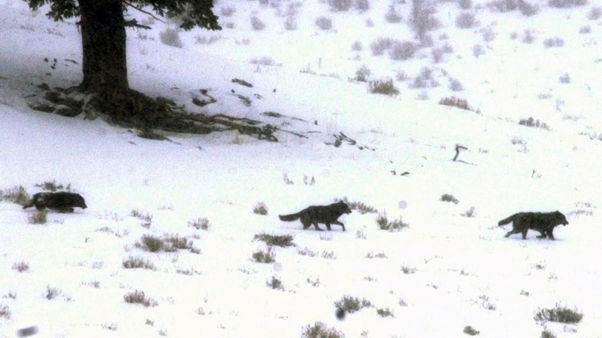 FILE -This Jan. 26, 2002 file photo shows  a wolf pack runs across a snowy slope in Yellowstone National Park, Wyo. Government researchers have lost their license to a set of radio frequencies used to track more than 100 radio-collared wolves and elk at Yellowstone National Park. Yellowstone biologist Doug Smith said Thursday, July 2, that new licensee Northwestern Energy has let the research work continue, allowing the park to avoid more than $450,000 in estimated costs to restart the program. (AP Photo/Nati Harnik, File)