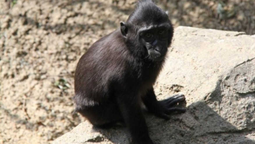 A small female Sulawesi Macaque named Zimm escaped from her enclosure at the Memphis Zoo Thursday afternoon.