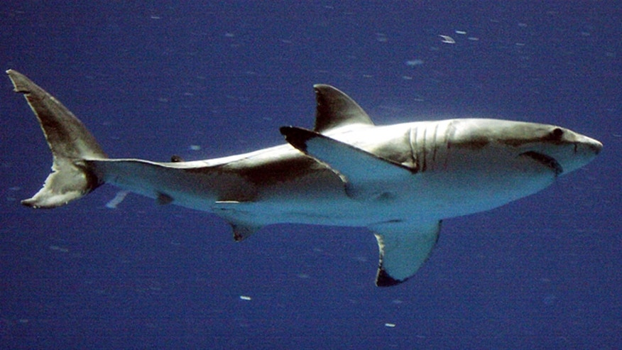 Sept. 14, 2004: A great white shark swims at the Monterey Bay Aquarium's Outer Bay Exhibit in Monterey, Calif.