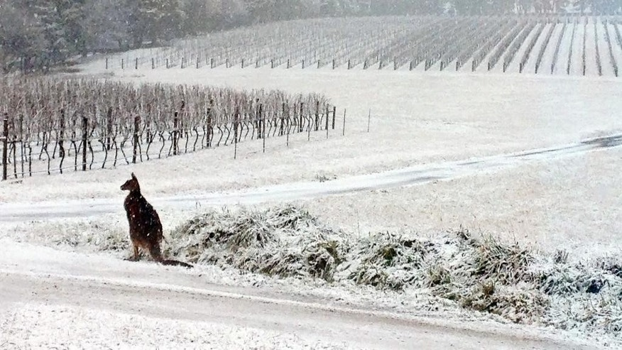 This July 16, 2015, photo provided by Bill Shrapnel and photographed through a window shows a Kangaroo on the Colmar Estate vineyard in Orange, New South Wales, Australia. The winter storm caused traffic accidents, school closures and power outages around the state on Australia's southeastern coast. (AP Photo/Colmar Estate, Bill Shrapnel)
