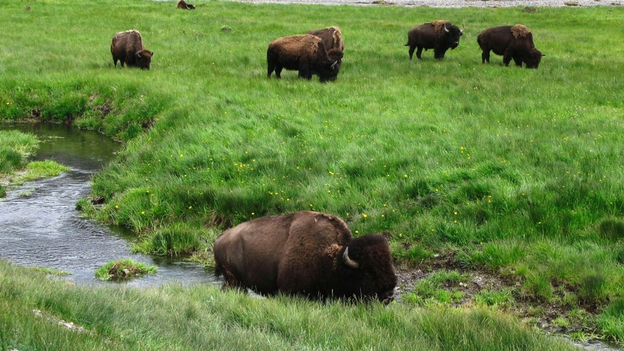 June 19, 2014: Bison graze near a stream in Yellowstone National Park in Wyoming.