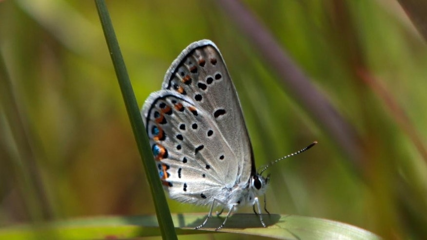 In this Friday, July 10, 2015 photo, a Karner Blue butterfly is seen after it was released at the Albany Pine Bush Preserve Commission in Albany, N.Y. More than two decades of habitat restoration and breeding programs have put the endangered Karner blue butterfly on track to recovery in the New York pine barrens where it was discovered by Russian author Vladimir Nabokov. The silvery blue, postage stamp-size butterfly is also making a comeback in parts of Ohio and New Hampshire where it was thought to have been wiped out before 2000. Populations have declined but persisted in Wisconsin and Michigan.  (AP Photo/Mike Groll)