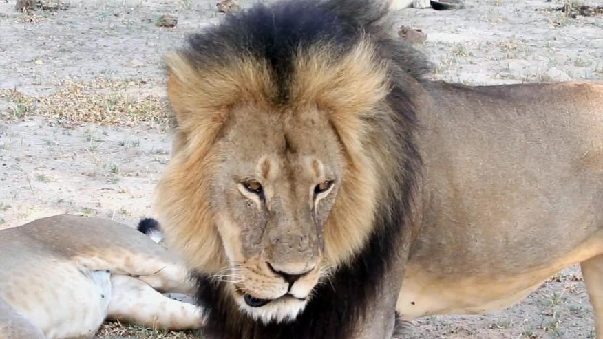 In this frame grab taken from a November 2012 video made available by Paula French, a well-known, protected lion known as Cecil strolls around in Hwange National Park, in Hwange, Zimbabwe. Zimbabwean police said Tuesday, July 28, 2015 they are searching for Walter James Palmer, an American who allegedly shot Cecil with a crossbow while on a big game hunt in a killing that has outraged conservationists and others. (Paula French via AP)
