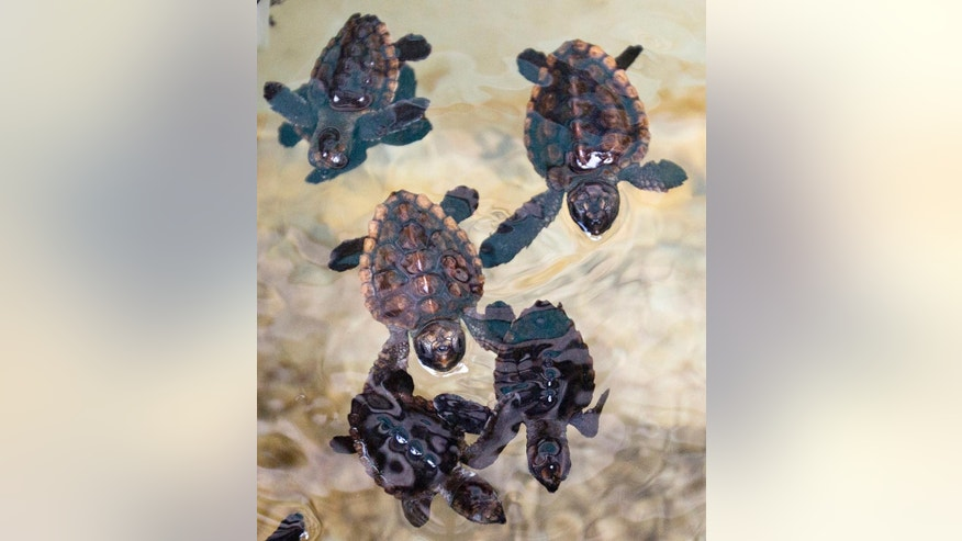 Loggerhead sea turtle hatchlings swim in a tank at the Gumbo Limbo Nature Center before being taken to a U.S. Coast Guard vessel for release, Monday, July 27, 2015, in Boca Raton, Fla. More than 600 Loggerhead hatchlings, nine Green sea turtle hatchlings, three rehabilitated Loggerhead post-hatchling and one Hawksbill post-hatchling sea turtle were released onto free-floating sargassum seaweed offshore. (AP Photo/Wilfredo Lee)