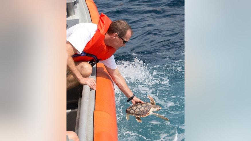 David Anderson, a Marine Turtle Specialist at the Gumbo Limbo Nature Center, releases a rehabilitated Loggerhead post-hatchling sea turtle from a U.S. Coast Guard vessel, Monday, July 27, 2015, off the coast of Boca Raton, Fla. More than 600 Loggerhead  hatchlings, nine Green sea turtle hatchlings, three rehabilitated Loggerhead post-hatchling and one Hawksbill post-hatchling sea turtle were released onto free-floating sargassum seaweed offshore. (AP Photo/Wilfredo Lee)