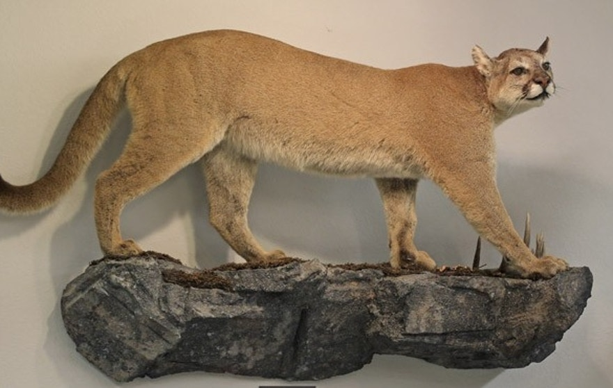 A life-size mount of a cougar is seen on the wall of North American bow-hunting club Pope & Young's museum in Chatfield, Minnesota July 31, 2015. The Pope & Young Club, a Minnesota-based bowhunting and conservation organization that includes dentist Walter Palmer among its 8000 members, said it was looking into his hunt which killed a locally famous lion in Zimbabwe, though it focuses only on North American big game. The club said its ethical code calls for fair chase of animals, which does not allow the hunter an unfair advantage, and does not condone violations of that code.  REUTERS/Eric Miller - RTX1MMTS