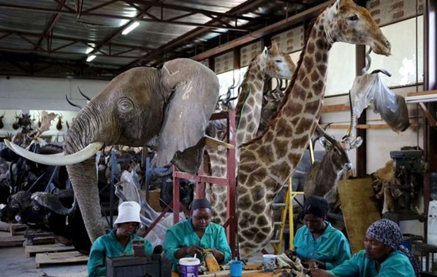 Workers prepare animal skins in front of animal trophies at the taxidermy studio in Pretoria,February 12, 2015. Africa's big game hunting industry helps protect endangered species, according to its advocates. Opponents say it threatens wildlife. Now a moot change in regulations in the United States could affect the number of foreigners who come to Africa to hunt big game, damaging the industry and possibly hurting wildlife. Picture taken February 12, 2015. REUTERS/Siphiwe Sibeko - RTX1G43C