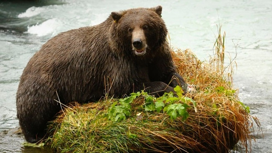 FILE: A coastal brown bear eats a salmon in the Chilkoot River near Haines, Alaska.