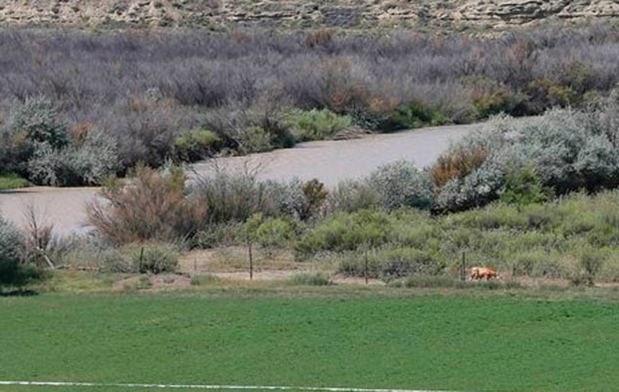 The San Juan River flows through the Navajo Reservation as a cow grazes alongside a field that uses river water for irrigation, Wednesday, Aug. 12, 2015, in Shiprock, NM. (AP Photo/Matt York)