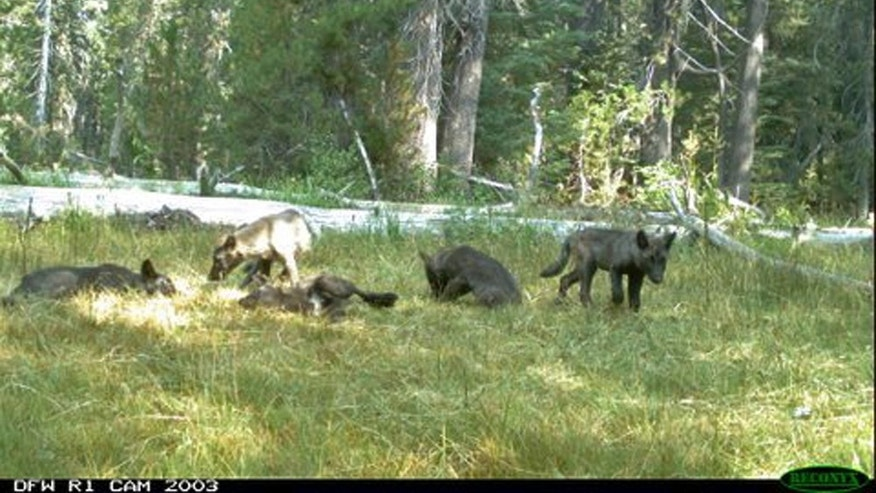 In this Aug. 9, 2015 still image from video released by the California Dept. of Fish and Wildlife shows evidence of five gray wolf pups and two adults in Northern California. California has its first wolf pack since the state's last known wolf was killed in 1924. State and federal authorities announced Thursday, Aug. 20, 2015, that a trail camera captured photos earlier this month of two adults and five pups in southeastern Siskiyou County. They were named the Shasta pack for nearby Mount Shasta. (California Dept. of Fish and Wildlife via AP)