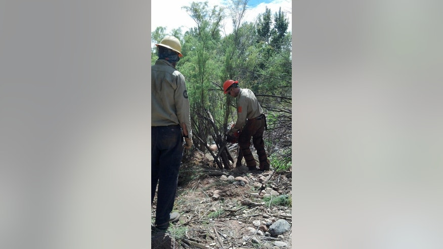 This Sept. 9, 2014, photo provided by Friends of Verde River Greenway shows Arizona Conservation Corps members cutting tamarisk at Dead Horse Ranch State Park in Cottonwood, Ariz. The tiny seedling was brought over from Eastern Europe and parts of Asia nearly 200 years ago and planted along riverbanks across the United States, mostly in the Southwest, to prevent erosion. It grew fast, its thick branches and oily leaves spreading across five states. (Hanna Farrell/Friends of Verde River Greenway via AP)