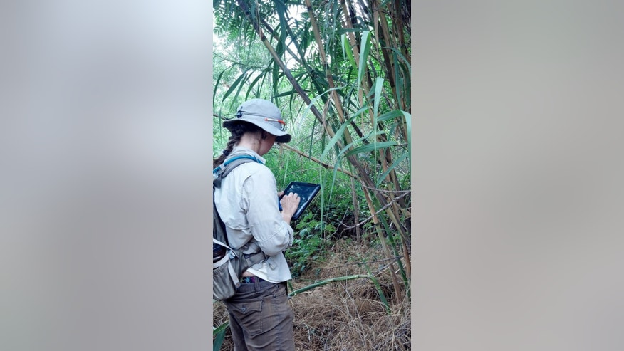 This July 16, 2013, photo provided by Friends of Verde River Greenway, shows a Coconino Rural Conservation Corps (CREC) Intern mapping and assessing a population of Arundo Donax (Giant Reed) using a android tablet and specialized mapping software. The software allows field crew to enter information about populations of invasive plants and document a location that assist with the implementation of invasive plant removal efforts and long-term monitoring. (Anna Schrenk/Friends of Verde River Greenway via AP)