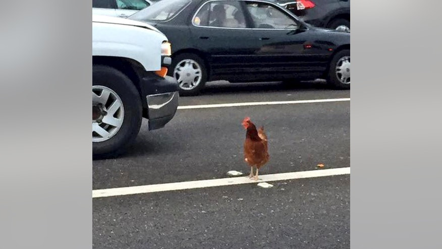 In this Wednesday, Sept. 2, 2015 photo, a brown chicken runs across the road through the lanes of a toll plaza on the Bay Bridge in San Francisco. California Highway Patrol officers managed to capture the felonious chicken that fouled up rush-hour traffic on the bridge. (Jeff Chu via AP)  MANDATORY CREDIT