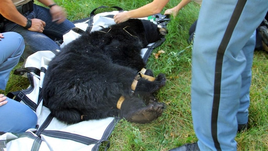This photo provided by the Arapaho County Sheriff's Department shows wildlife officials preparing to move a black bear that wandered into a neighborhood in Centennial, Colo., a Denver suburb, Friday, Sept. 4, 2015. Officials say bear sightings are on the rise in the Denver area as the animals struggle to find food in preparation for their winter hibernation. A combination of wet weather and sudden freezes in northeastern Colorado has stunted the growth of the berries the bears rely in the mountains. As a result, the animals have been making their way to town for other nourishment as they try to bulk up for their winter hibernation. (Arapaho County Sheriff's Department via AP)