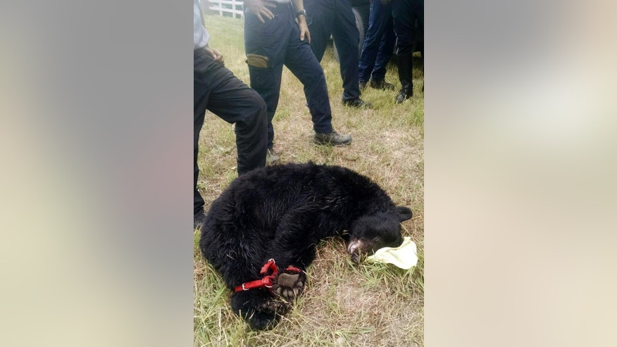 FILE - In this Aug. 27, 2015, file photo, provided by the Arvada Police Department, a female black bear is tied next to emergency personnel after being tranquilized in a residential area of Arvada, Colo. Officials say bear sightings are on the rise in the Denver area as the animals struggle to find food in preparation for their winter hibernation. A combination of wet weather and sudden freezes in northeastern Colorado has stunted the growth of the berries the bears rely in the mountains. As a result, the animals have been making their way to town for other nourishment as they try to bulk up for their winter hibernation.(Chris Daisog/Arvada Police Department via AP, File)