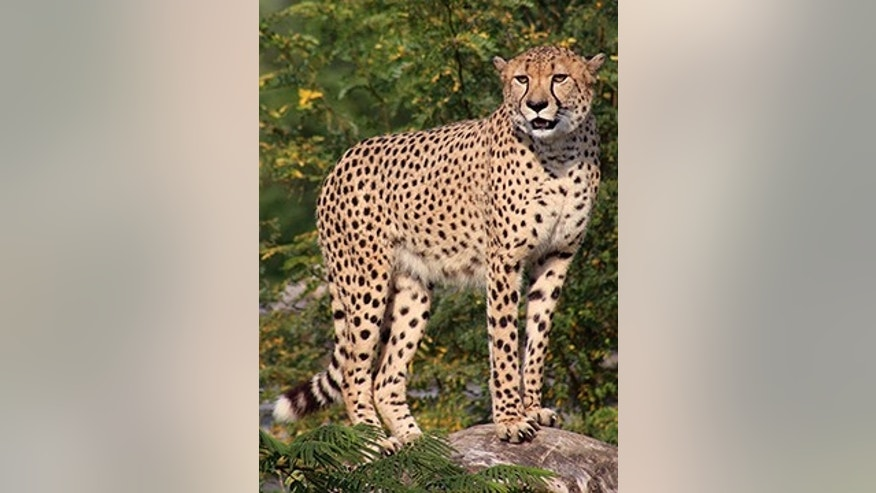 This undated photo provided by the Indianapolis Zoo shows Pounce, a cheetah who escaped from its exhibit Sunday, Sept. 6, 2015 (Indianapolis Zoo)