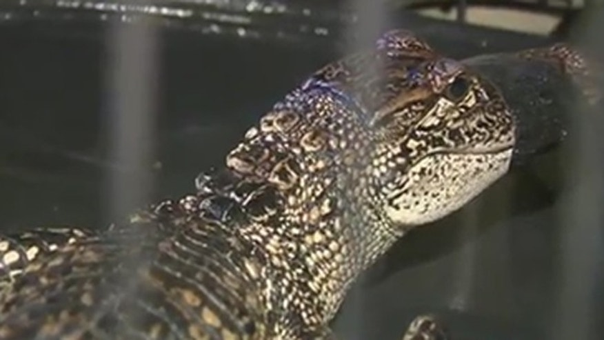 This 3 ½ foot alligator was captured in a stream that goes into the Guadalupe River.