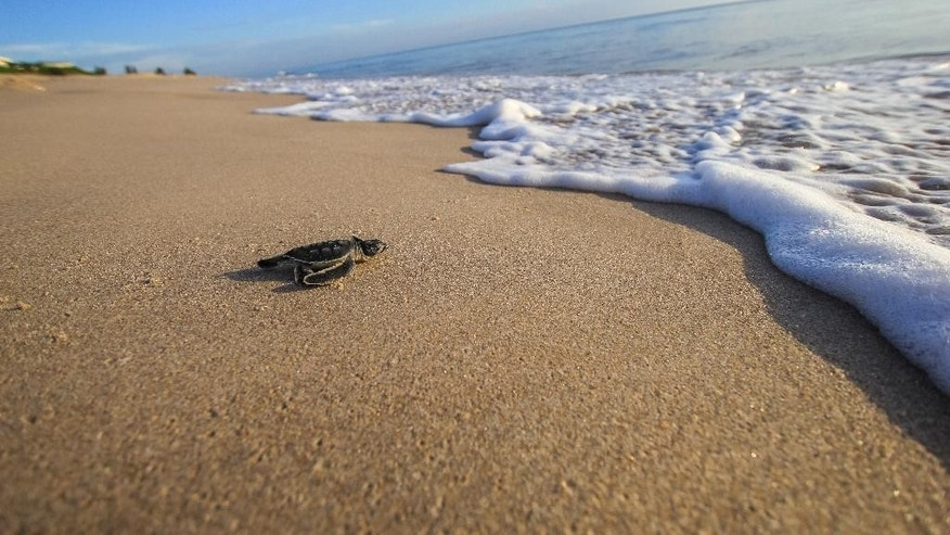 In this Aug. 13, 2015 photo made available by the University of Central Florida, a green turtle hatchling makes its way to the Atlantic Ocean at the Archie Carr Wildlife Refuge in Melbourne, Fla.  Florida's nesting season still has a month to go, but scientist have already counted a record 12,000 nests dug by endangered green turtles. Other turtles have also had a nesting comeback in Georgia, North Carolina and South Carolina. (Gustavo Stahelin/University of Central Florida via AP)