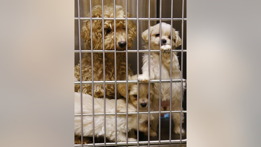 A miniature poodle is pictured with her mixed-breed puppies at the Norman Animal Shelter in Norman, Okla., Tuesday, Sept. 15, 2015. The shelter is searching for new homes for 65 dogs, including 22 puppies, which were seized from a mobile home in Norman. (AP Photo/Sue Ogrocki)