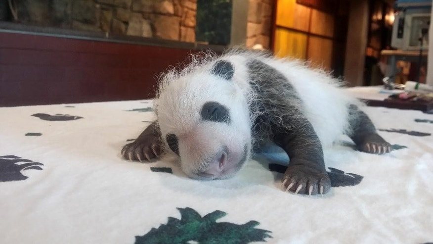 In this photo provided by the Smithsonian's National Zoo, taken Sept. 14, 2015, shows the baby Giant Panda, born Aug. 22, 2015, seen in Washington as keepers weighed the giant panda cub.  (Erika Bauer/Smithsonian's National Zoo via AP) MANDATORY CREDIT