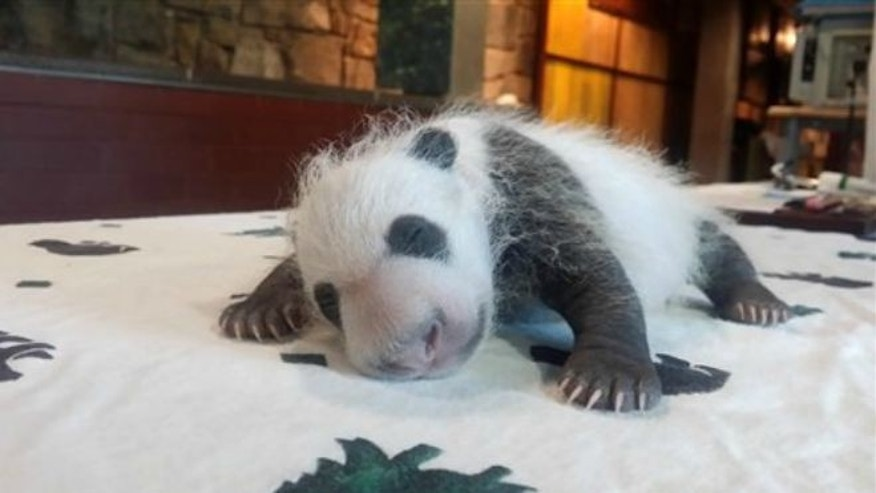 Sept. 14, 2015: This photo provided by the Smithsonian's National Zoo shows the baby Giant Panda, born Aug. 22, 2015, seen in Washington as keepers weighed the giant panda cub.