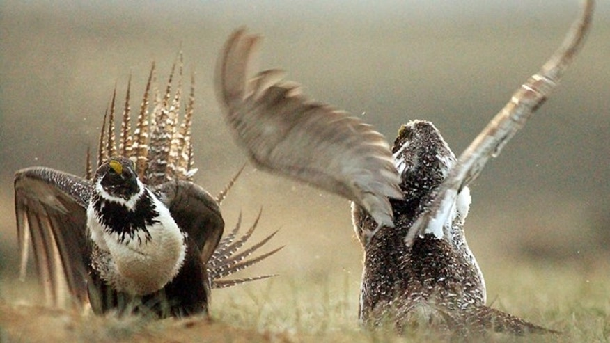 FILE - In this May 9, 2008 file photo, male sage grouses fight for the attention of a female, southwest of Rawlins, Wyo. (Jerret Raffety, Rawlins Daily Times via AP, File)