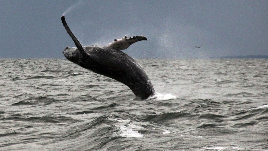 In this Sept. 12, 2015 photo provided by Dan Lent, a humpback whale breaches the water in Long Island Sound off the coast of Stamford, Conn.