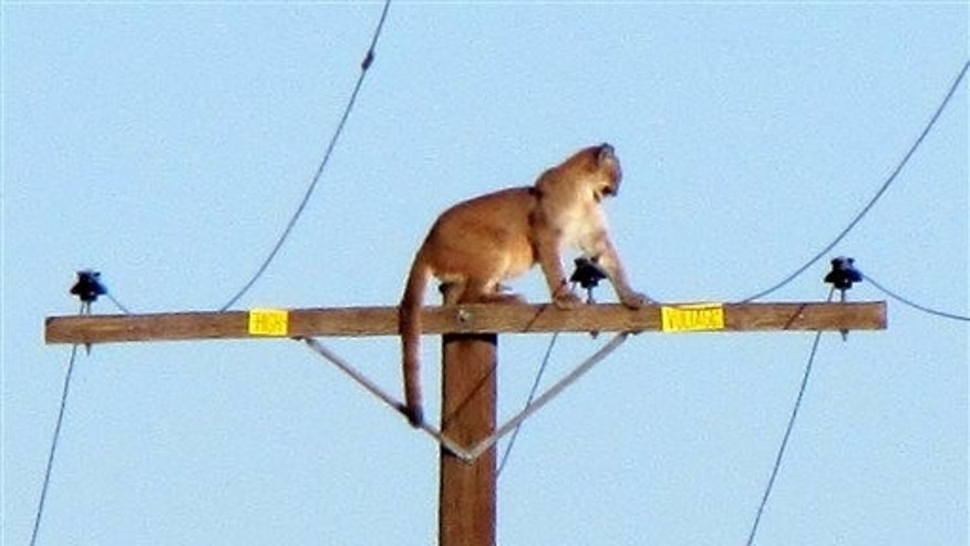 Sept. 29, 2015: A mountain lion stands on a power pole in Lucerne Valley, Calif. The cougar stayed atop the pole all afternoon Tuesday, but was gone by Wednesday morning according to the The Victor Valley Daily Press.