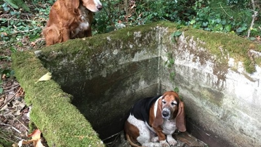FILE - In this Sept. 15, 2015, file photo, provided by Amy Carey of Vashon Island Pet Protectors, a setter mix dog named Tillie, left, watches over Phoebe, a basset hound who was trapped after falling into cistern shown at right nearly a week earlier, just before being rescued by searchers on Vashon Island, Wash. (Amy Carey/Vashon Island Pet Protectors via AP)