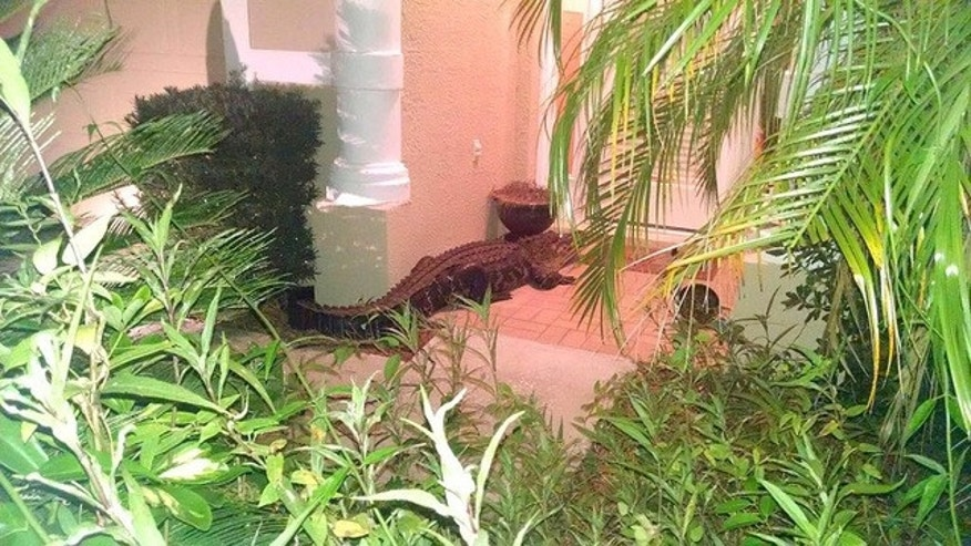 A large alligator visiting the home in Central Florida.