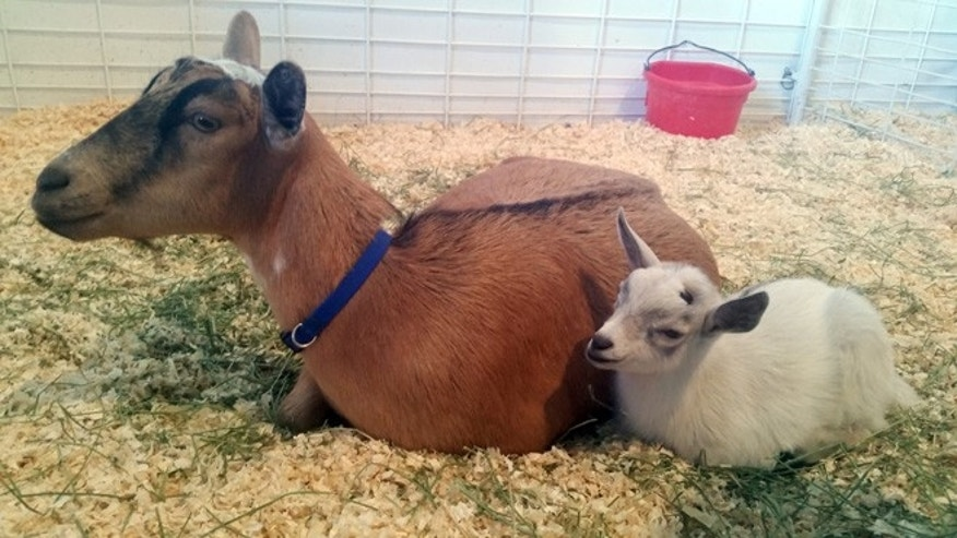 Nov. 5, 2015: GusGus, right, sits next to his mother, Custard, after they are reunited at the Arizona State Fair in Phoenix.