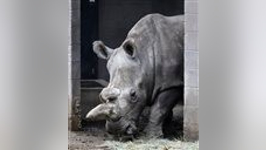 This Dec. 31, 2014, file photo shows Nola, a northern white rhinoceros, in her enclosure at the San Diego Zoo Safari Park in Escondido, Calif. (AP Photo/Lenny Ignelzi, File)
