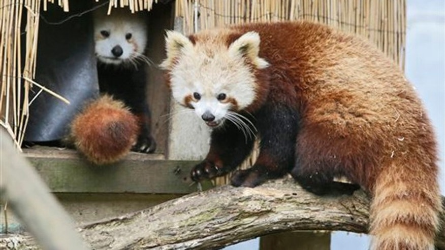 In this March 2015 photo, Masala, right, a red panda returns to a shelter as another looks on at Sequoia Park Zoo in Eureka, Calif.