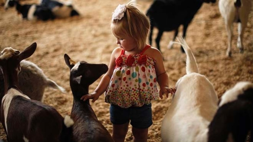 A 2-year-old girl walks with goats at the Los Angeles County Fair in Pomona.