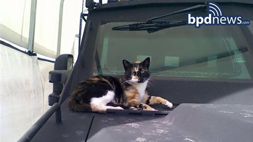 In this undated photo provided by the Boston Police Department, a cat dubbed SWAT Cat by the Boston Police Department's SWAT team, sits on the hood of an armored vehicle, in Boston.