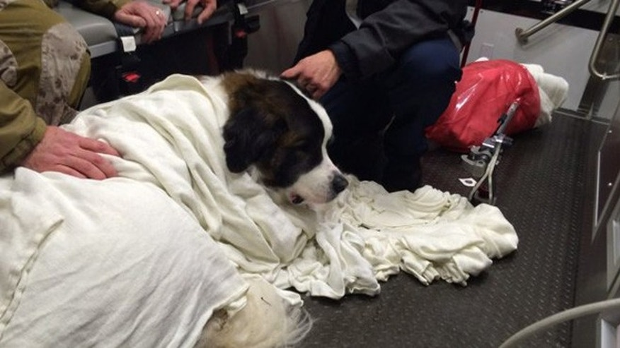 A Saint Bernard dog was rescued from Woodglen Lake in Virginia. (Fairfax County Fire and Rescue Department)