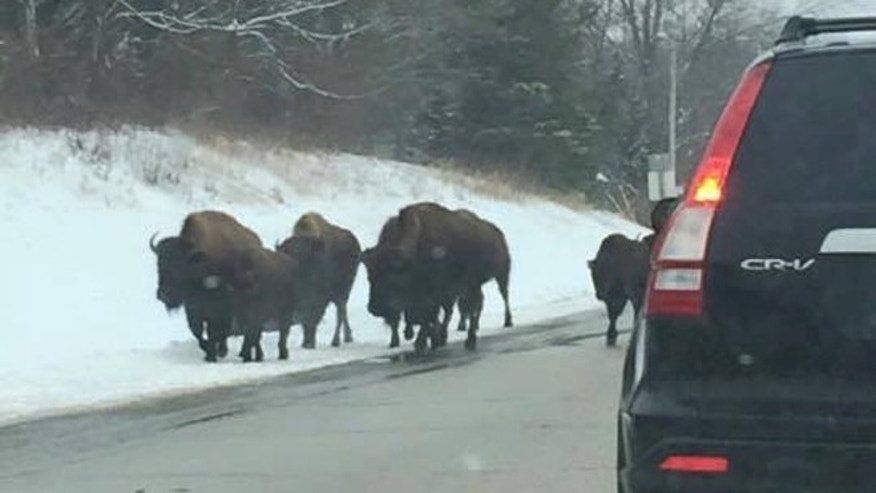 Bison on the loose after escape from Wisconsin farm. (Brittany Burmeister)