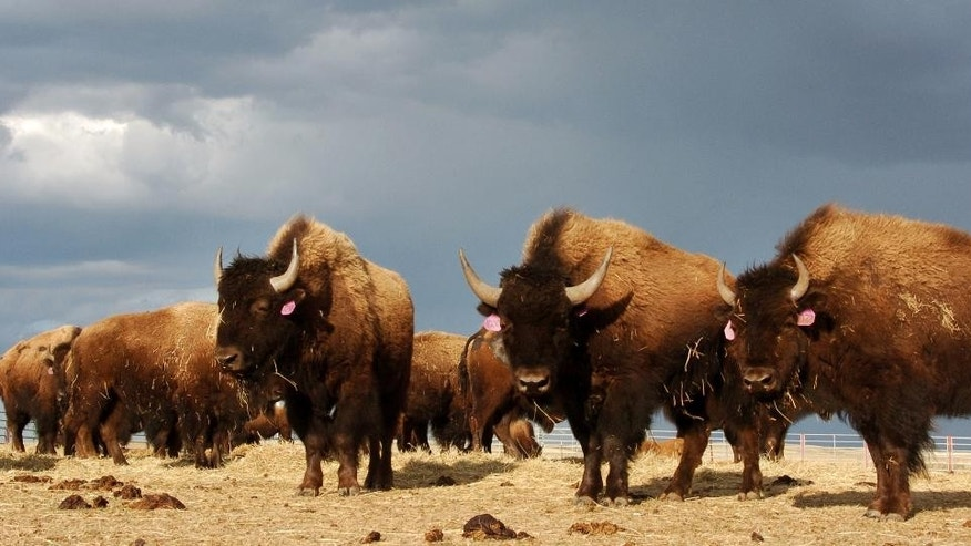 In this  file photo, a herd of bison roam on the Fort Peck Reservation near Poplar, Mont.