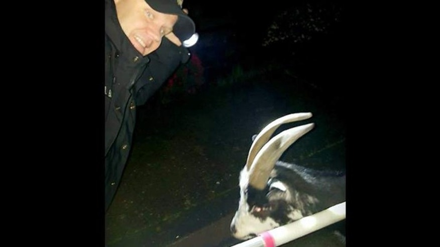 Sebastopol officer Andy Bauer takes goat into custody.