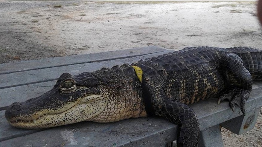 Dec. 15, 2015: Mary Thorn's pet alligator named Rambo is seen, in Lakeland, Fla.
